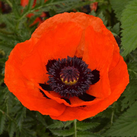 Poppy Brilliant scarlet - Flying Dutchman Stores