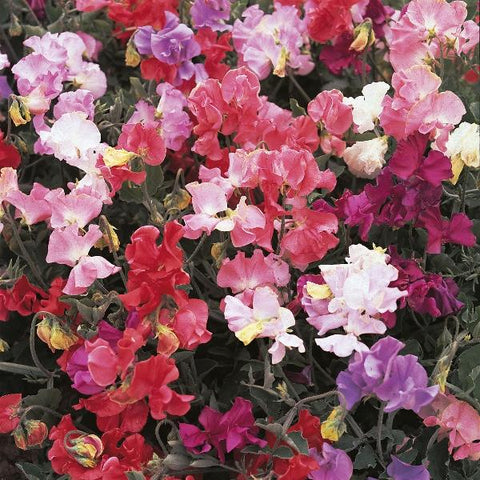 Sweet Pea Perfume Delight