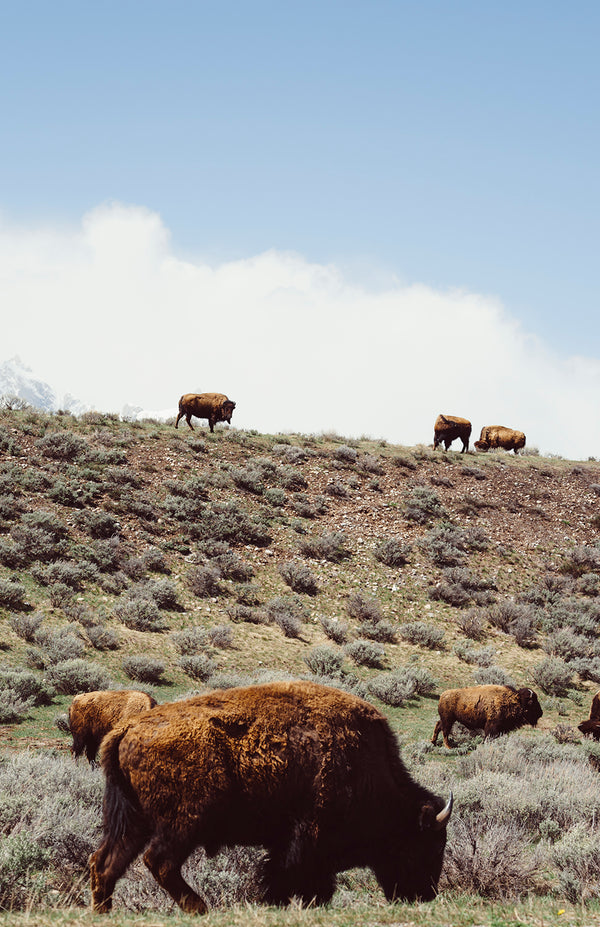 Bison Herd Grazing in the Tetons
