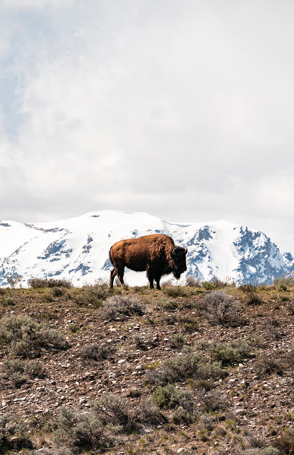 Lone Bison in the Tetons