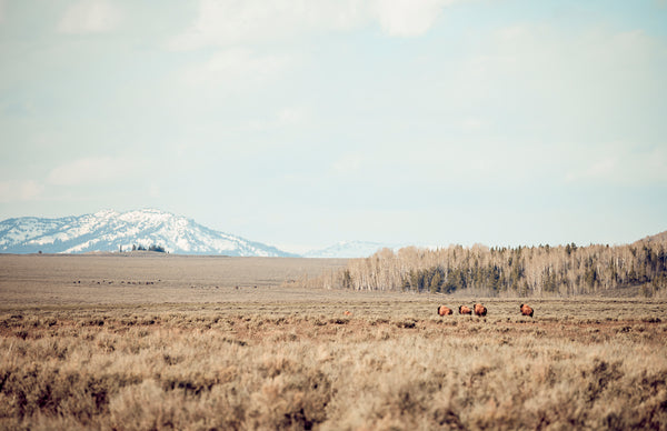 Galloping Bison in Yellowstone