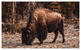 Wild Bison Grazing