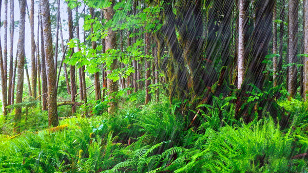 Forest Rain Sounds for Sleeping or Studying MP3