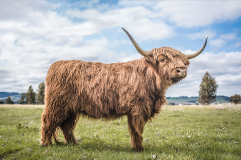 Henry the Highland Coo