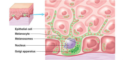 What is hyperpigmentation epithelial cells