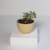 Small Jupiter Pots/Planters - Mustard Yellow