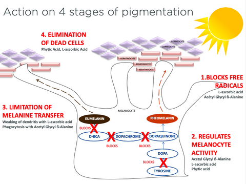 Actions on 4 stages of pigmentation