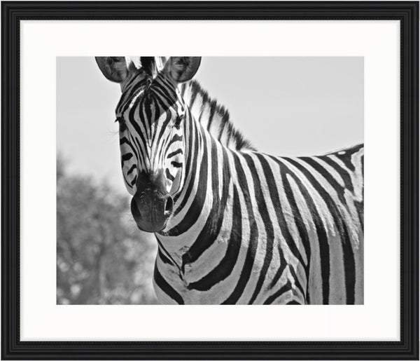 black and white zebra photo print art