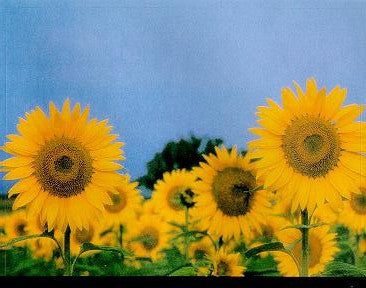 Classic Studios - Sun Flowers Wine Bottle Labels - Barley & Vine