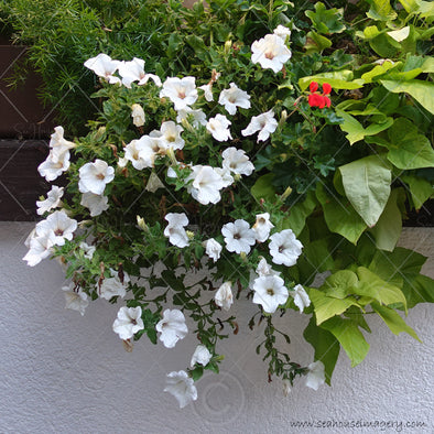 WM Flower Azaleas White Hanging 5189 Square Size