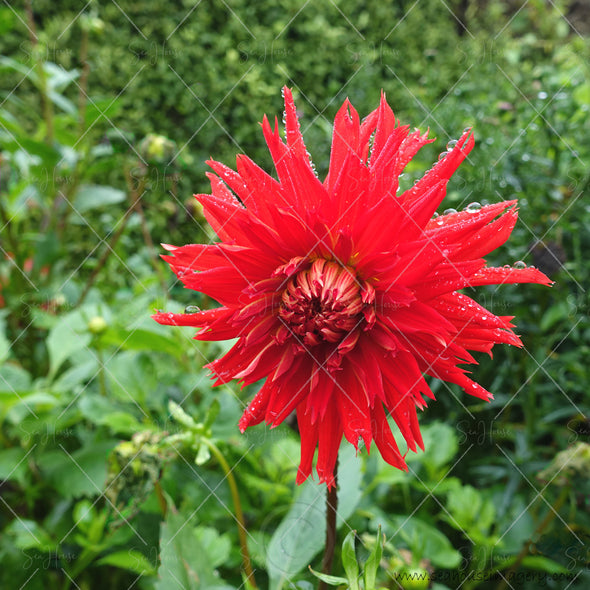 WM Flower Dahlia Red 4720 Square Size