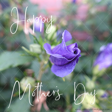 Stock Photo Happy Mother's Day Purple Rose Bud 9701 Square Size