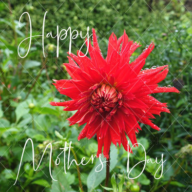 Stock Photo Happy Mother's Day Red Dahlia Flower 4720 Square Size