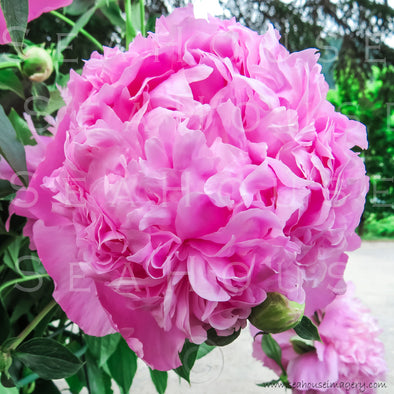 WM Peony Pink Flower 0781 Square Size