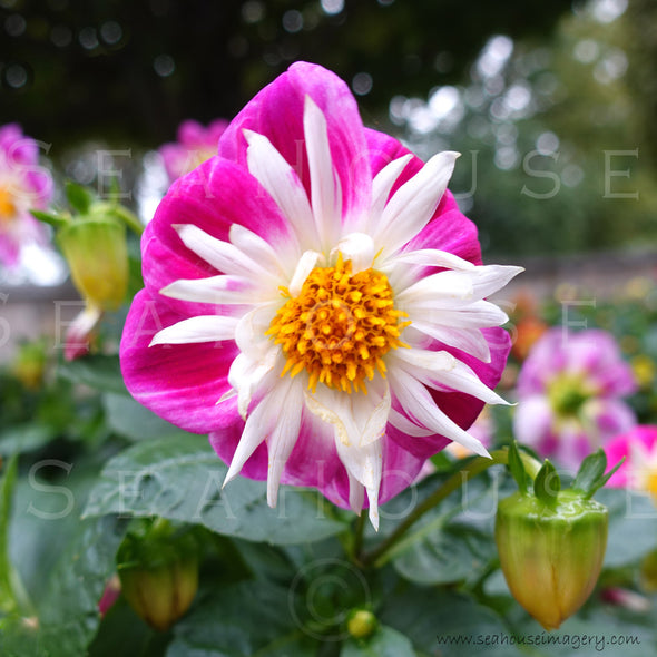 WM Flower Dahlia Bright Pink & White 9444 Square Size