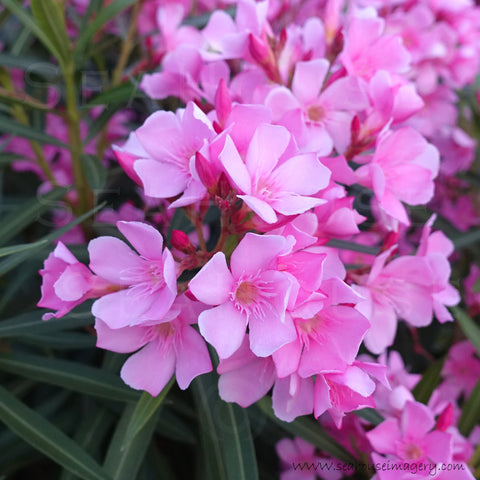 WM Pink Oleander Flowers 4072 Square Size
