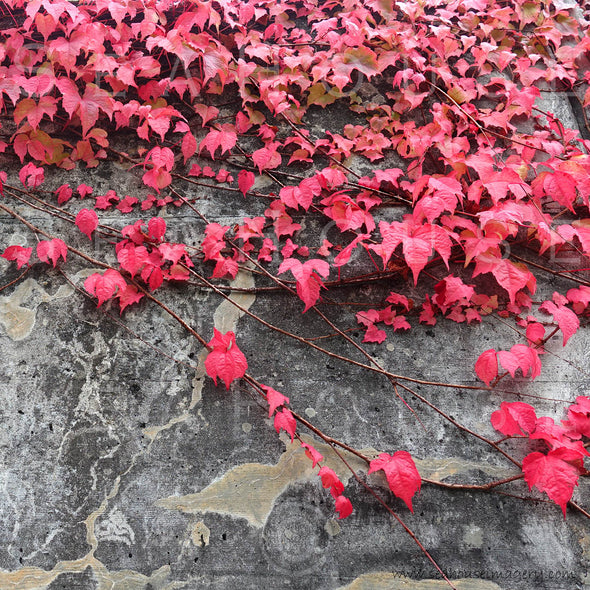 WM EXCLUSIVE USE Red Leaves Cement Wall Background 3344 Square Size