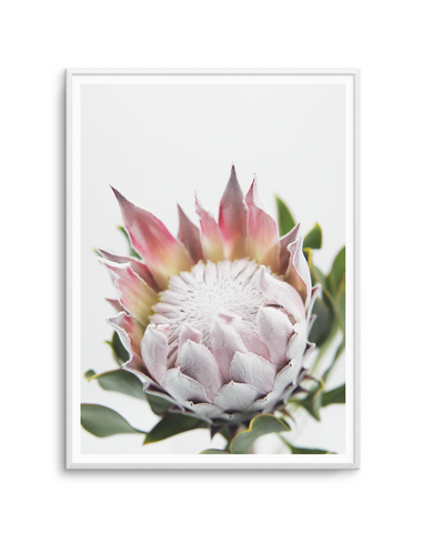 BLUSHING KING PROTEA