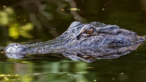 Man Pries Alligator's Jaws Open to Rescue Dog