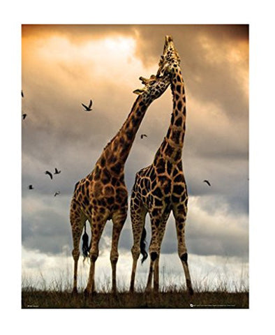 (16x20) Giraffes - Kissing Photography Poster
