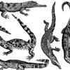 Crocodiles and Alligators Black (Decal-006)