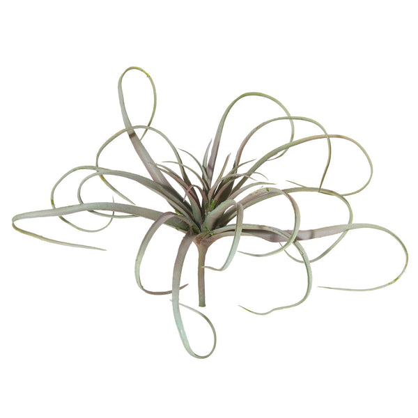 Tillandsia Grey