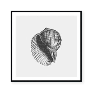 Antique Shell II Framed Print