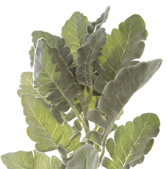 Dusty Miller Spray Frosted Grey