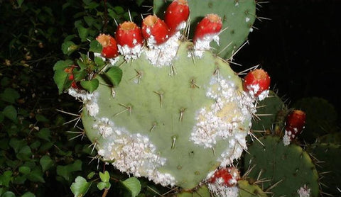 Prickly Pear Cactus invested with cochineal