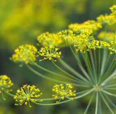 Fennel Sweet Essential Oil *