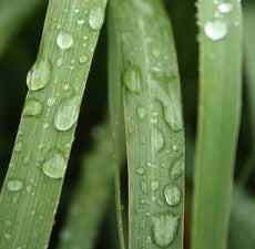 Lemongrass Organic Essential Oil - ORGANIC *