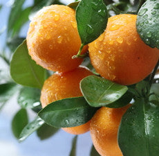Mandarin (Natural Blend) Essential Oil *