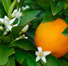 Orange Essential Oil (Sweet) *