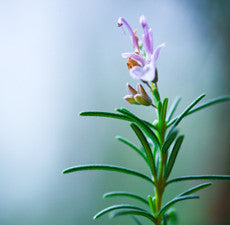 Rosemary (Morocco) Essential Oil *