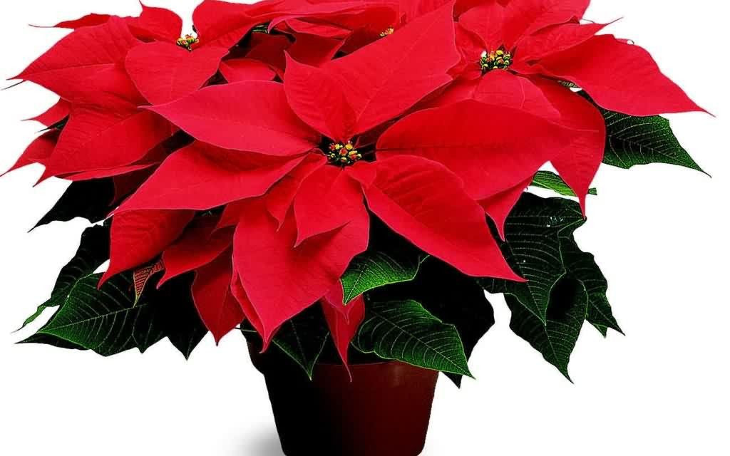 CHRISTMAS, THE POINSETTIA & MEXICO