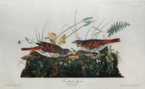 John James Audubon (1785-1851), Plate CVIII Fox-coloured Sparrow