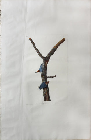 John James Audubon (1785-1851), Plate CXXV Brown-headed Nuthatch