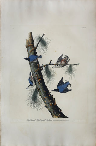 John James Audubon (1785-1851), Plate CLII White-breasted Black-capped Nuthatch