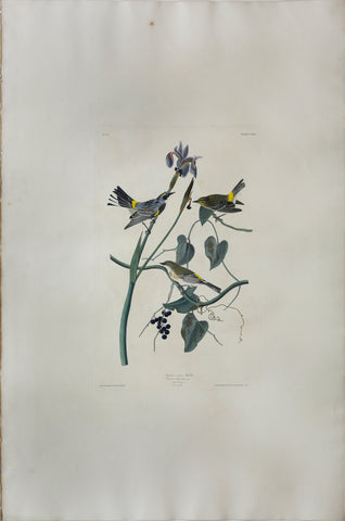John James Audubon (1785-1851), Plate CLIII Yellow-crown Warbler