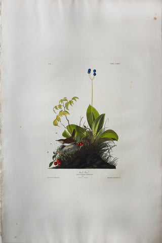 John James Audubon (1785-1851), Plate CLXXIX Wood Wren