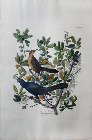 John James Audubon (1785-1851), Plate CLXXXVII Boat-tailed Grackle