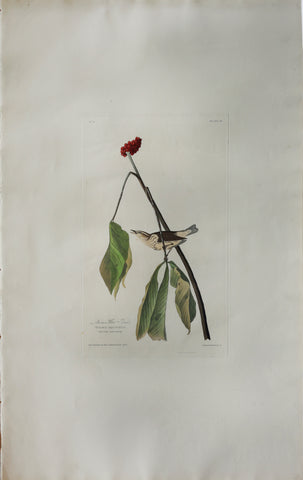John James Audubon (1785-1851), Plate XIX Louisiana Water Thrush