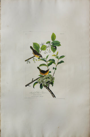 John James Audubon (1785-1851), Plate XXIII Maryland Yellow Throat