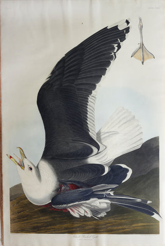 John James Audubon (1785-1851), Plate CCXLI Black Backed Gull