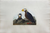 John James Audubon (1785-1851), Plate CCXLIX Tufted Auk