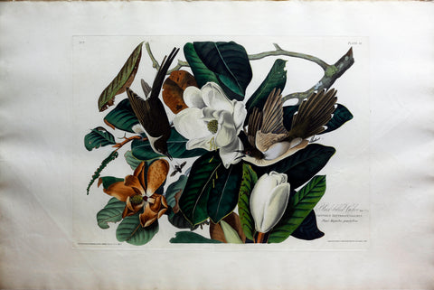 John James Audubon (1785-1851), Plate XXXII Black Billed Cuckoo