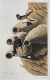 John James Audubon (1785-1851), Plate LXVIII Republican or Cliff Swallow