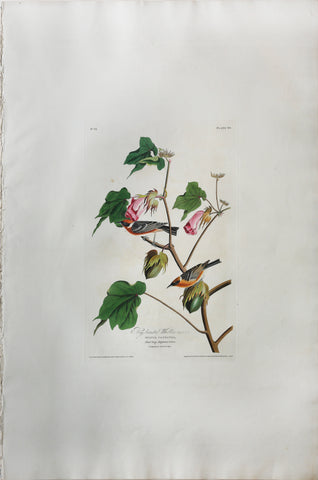 John James Audubon (1785-1851), Plate LXIX Bay-breasted Warbler