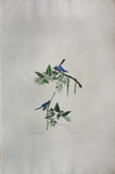 John James Audubon (1785-1851), Plate LXXXIV Blue-Grey Fly-catcher