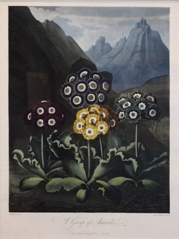 Robert John Thornton (1768-1837), A Group of Auriculas